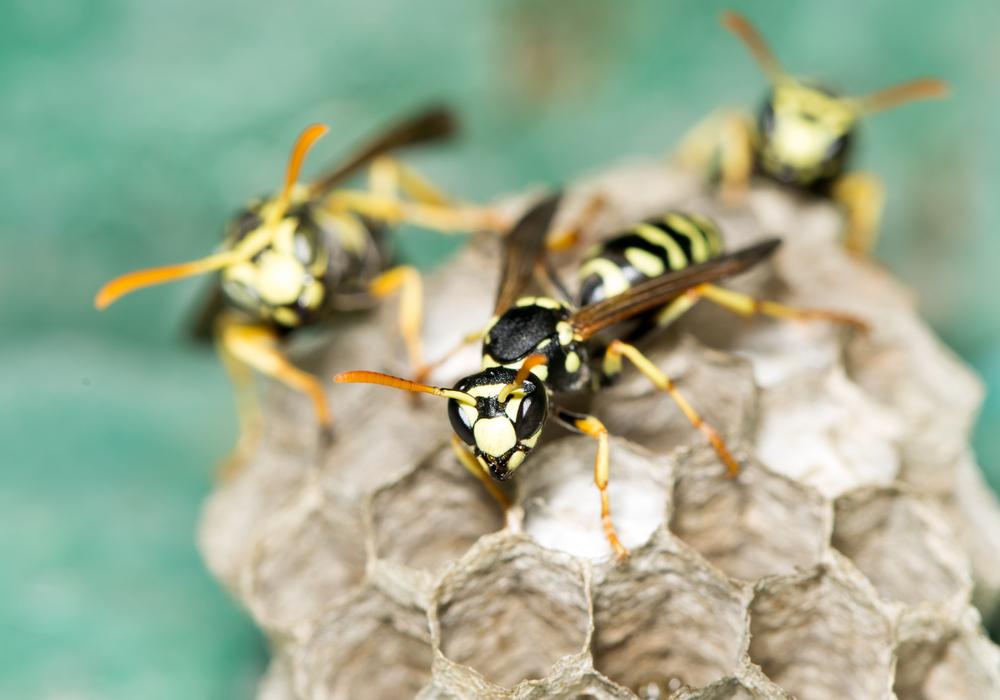 8 tips om wespen op afstand te houden